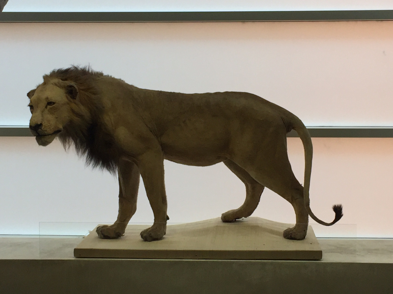 24 African Lion, a gift from John Reinhold in the early 80s